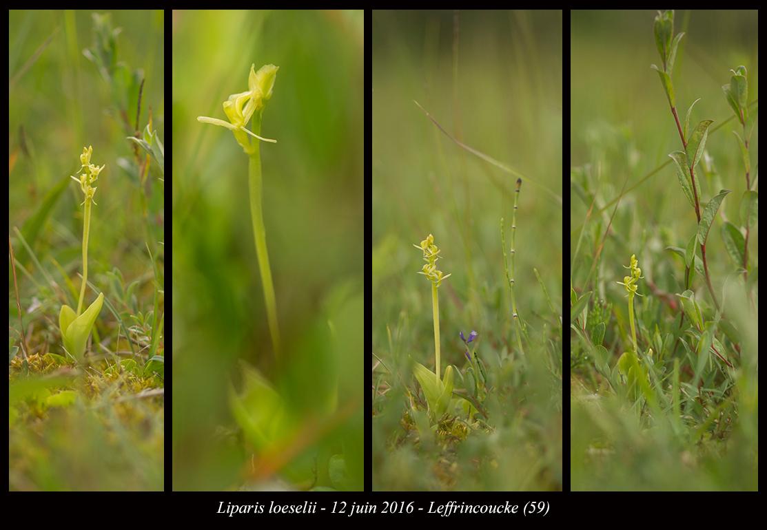 Liparis loeselii ( Liparis de Loesel ) Liparis-loeselii7