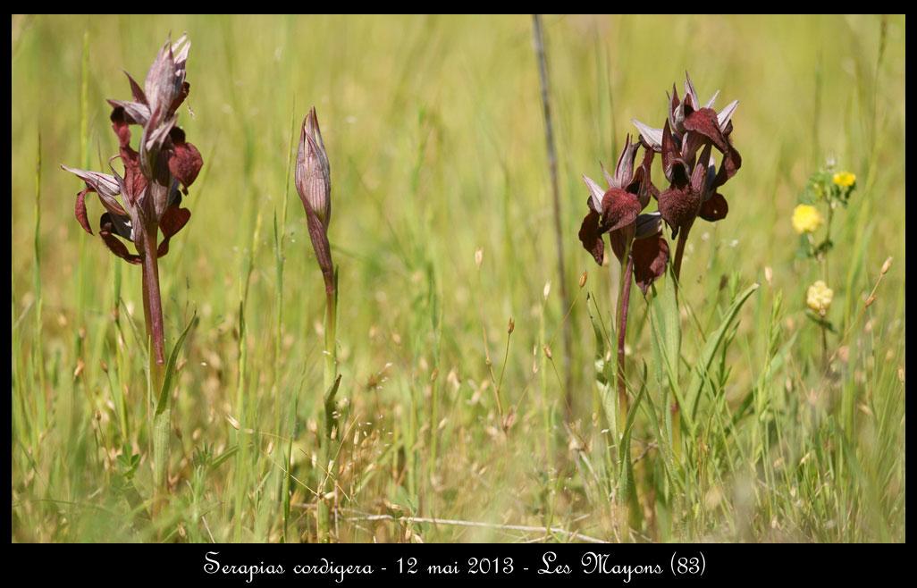 Serapias cordigera ( Sérapias en coeur ) Serapias-cordigera