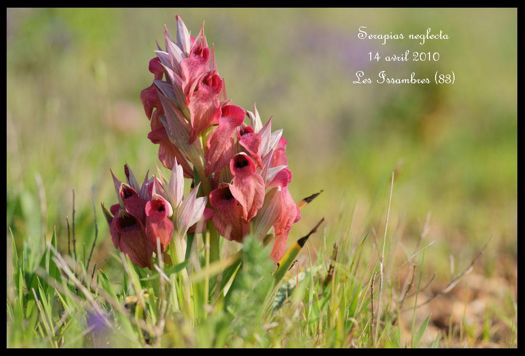 Serapias neglecta ( Sérapias méconnu ) Serapias-neglecta2