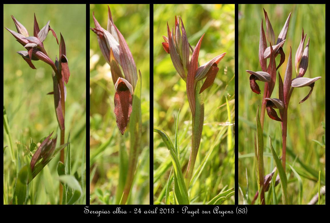Serapias olbia ( Sérapias de Provence ) Serapias-olbia