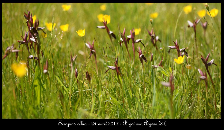 Serapias olbia ( Sérapias de Provence ) Serapias-olbia2