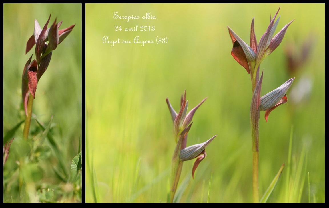Serapias olbia ( Sérapias de Provence ) Serapias-olbia3