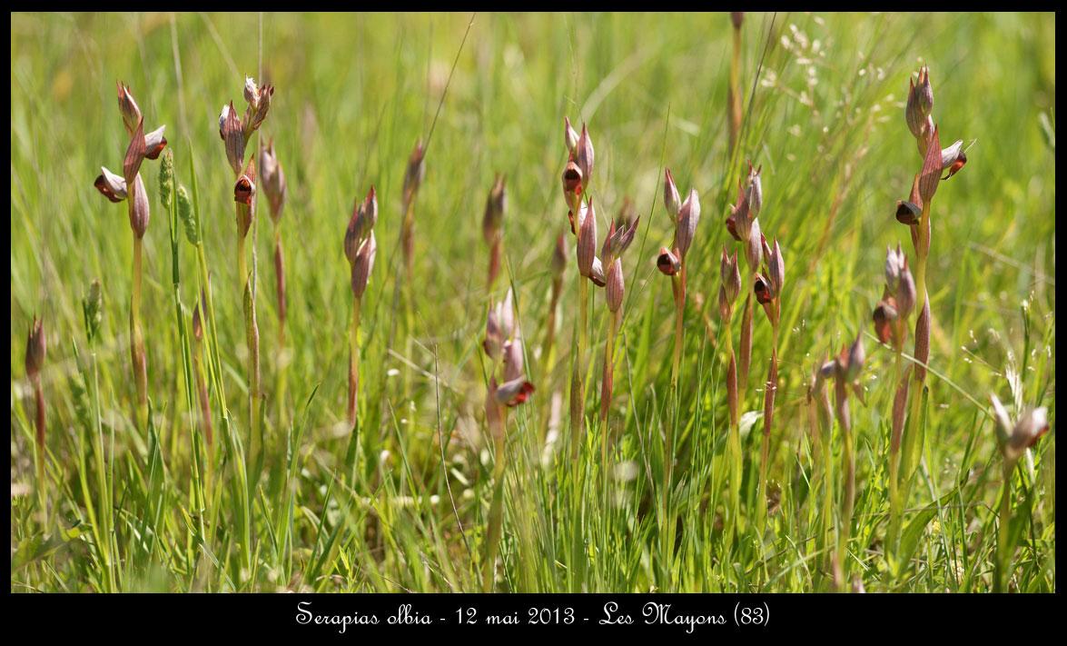 Serapias olbia ( Sérapias de Provence ) Serapias-olbia4