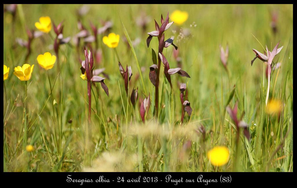 Serapias olbia ( Sérapias de Provence ) Serapias-olbia5
