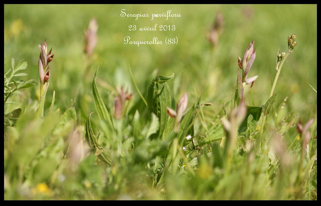 Serapias parviflora ( Sérapias à petites fleurs) Serapias-parviflora5
