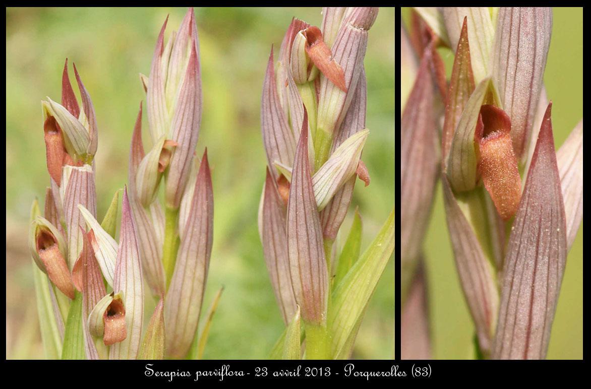Serapias parviflora ( Sérapias à petites fleurs) Serapias-parviflora9