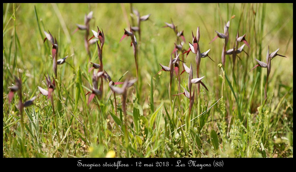 Serapias gregaria/strictiflora ( Sérapias à fleurs raides ) Serapias-strictiflora