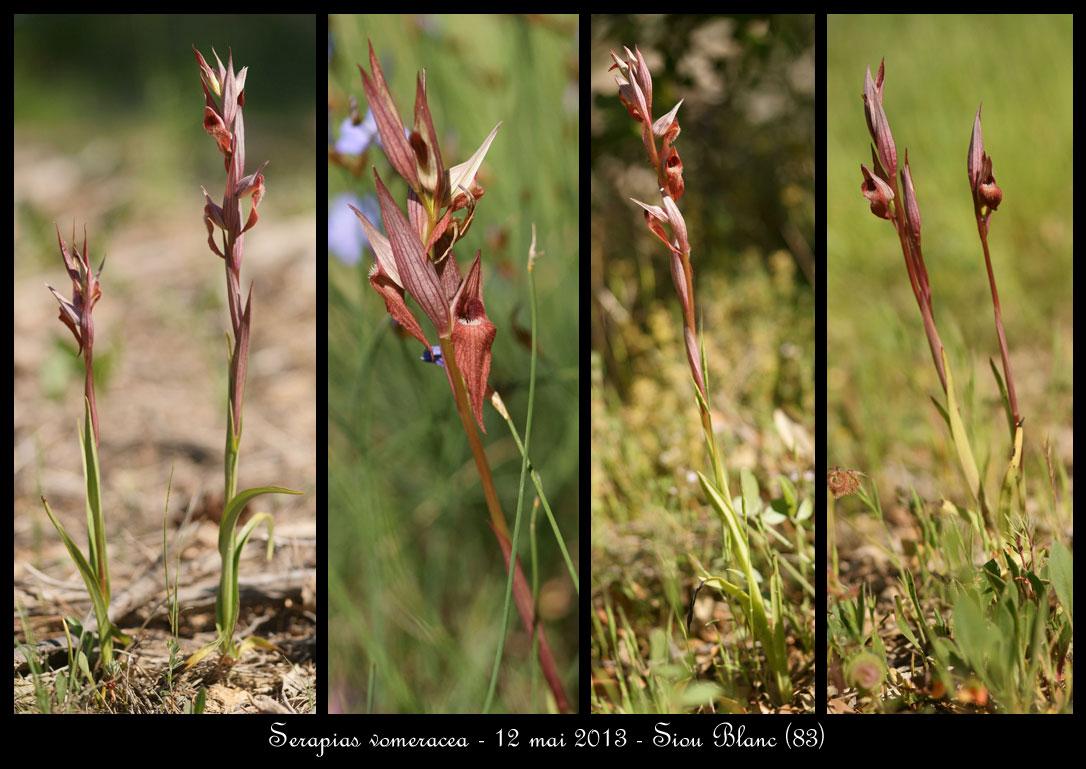 Serapias vomeracea ( Sérapias à labelle allongé ) Serapias-vomeracea2
