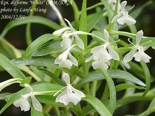 HOA GIEO TỨ TUYỆT 2 - Page 3 Epidendrumdifforme1