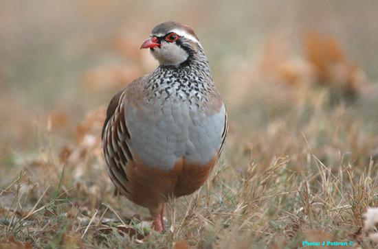 un oiseau - ajonc- 15 octobre trouvé par Martine Perdrix110_-05.20-55-ko