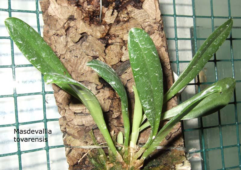Masdevallia tovarensis Masde-tovarensis