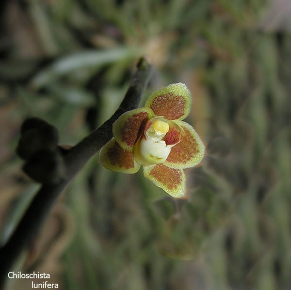 Miniatur- Orchideen - Seite 2 Chilo-lunifera1