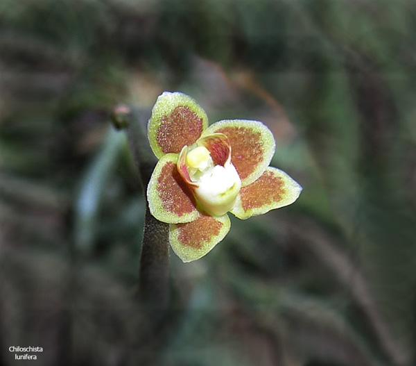 Miniatur- Orchideen - Seite 2 Chilo-lunifera3