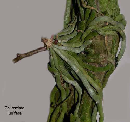 Miniatur- Orchideen - Seite 2 Chilo2
