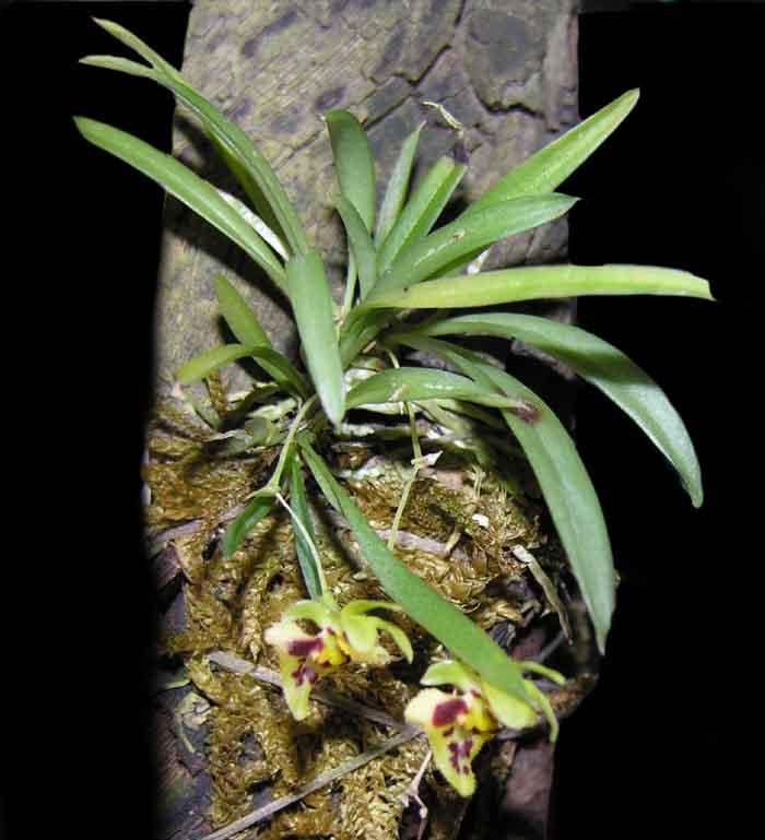 Miniatur- Orchideen - Seite 2 Chytroglossa