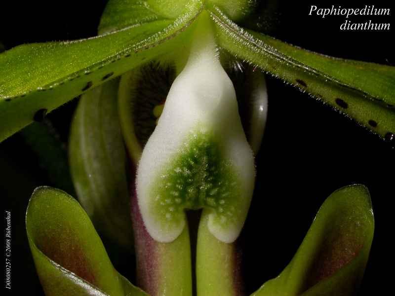 Paphiopedilum dianthum P3