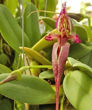 la plante de Martin 6 avril trouvée par Martine Bulbophyllum_fascinator_gross