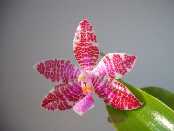 Phalaenopsis lueddemanniana....eine Zicke? Mitnichten! Orchis_895