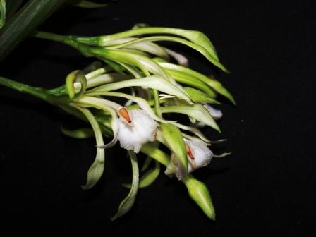 Checklist des orchidées terrestres d'Australie 100_4811