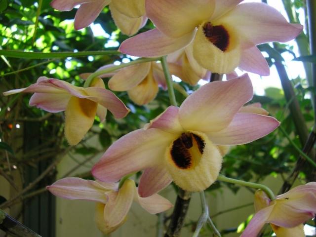 Dendrobium moschatum Dendrobium%20moschatum%20003.preview