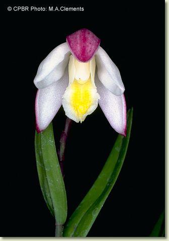 Checklist des orchidées terrestres d'Australie Brompulchra