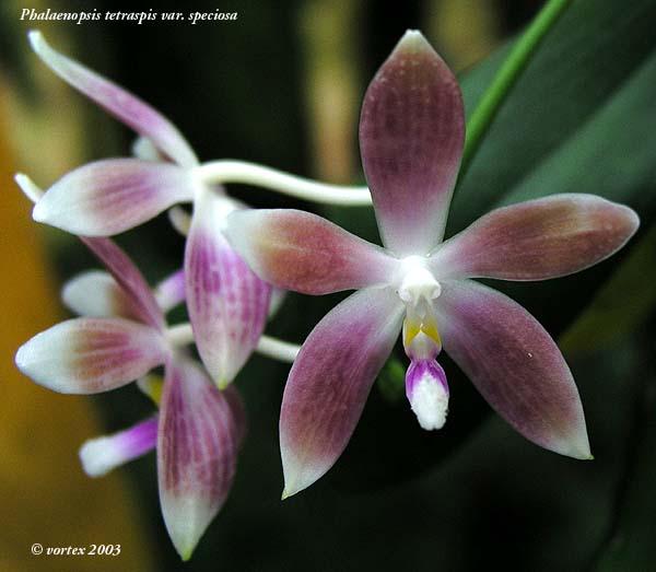 Discussion autour de Phalaenopsis tetraspis et speciosa Phalspeciosa