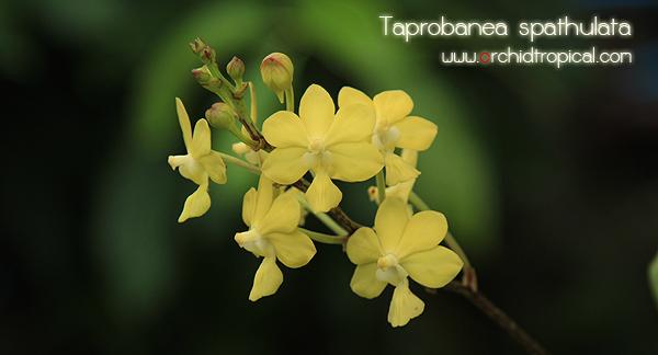 Hoa gieo tứ tuyệt 3 - Page 5 Taprobanea-spathulata