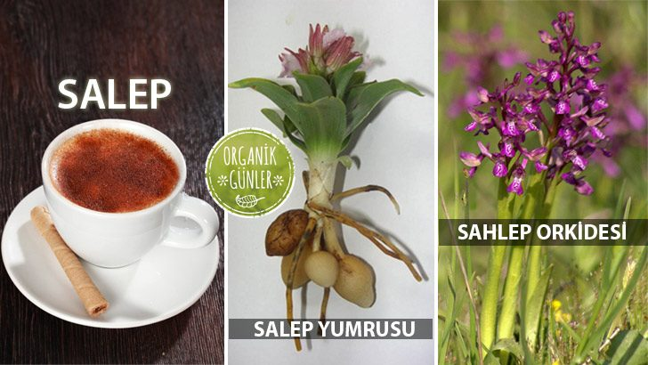 Salep Faydaları – Sahlep Orkidesi Yetiştiriciliği SALEP-SAHLEP-728x410
