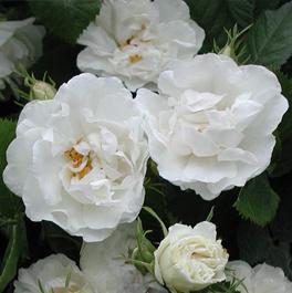 Slike vašeg omiljenog cveća Ruza-bijela