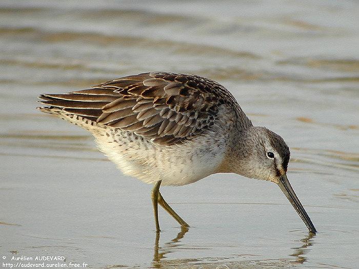 un oiseau - ajonc- 23 mars trouvé par Jovany Becassin_a_long_bec_juv_1_01122002_-_Guisseny