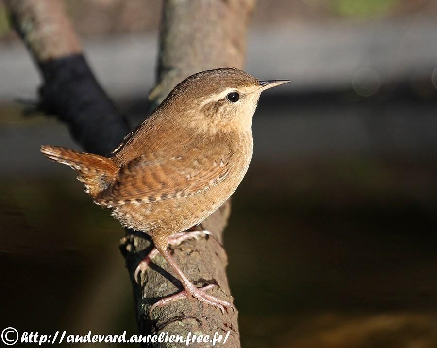oiseau de ptit loulou le 14décembre trouvé par Martine  Troglodyte_mignon_3BB_08102008_-_Ouessant
