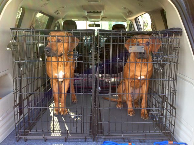 Transporting two dogs in minivan IMG_0112