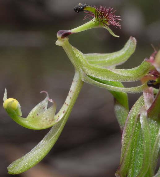 Checklist des orchidées terrestres d'Australie Arthrochilus%20prolixus%202