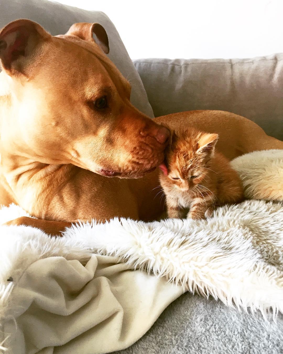 Imagem do dia - Página 15 Dog-likes-cats-ginger-pit-bull-bubba-loves-rue-7