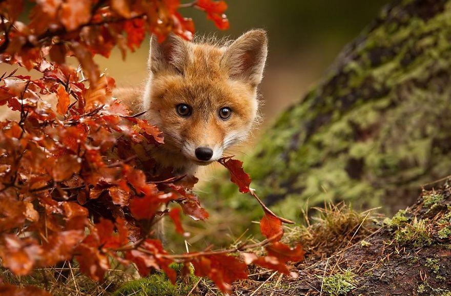 Imagem do dia - Página 15 Cute-baby-foxes-cubs-21-57444bbab84c9__880