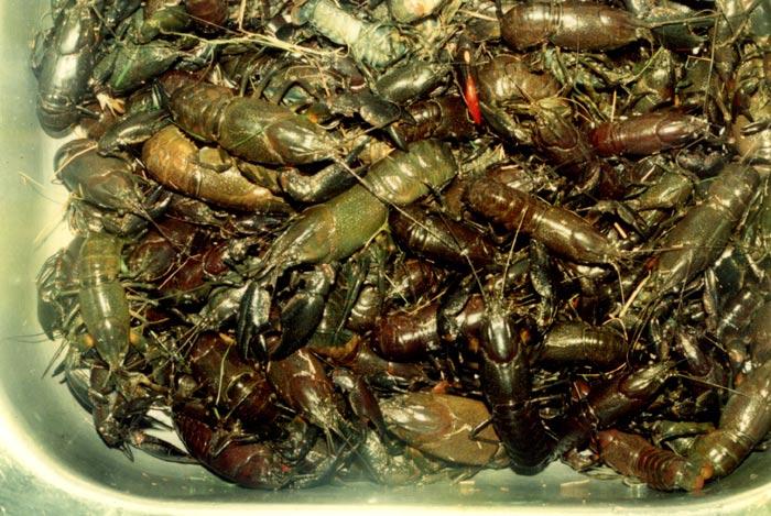 information- cherax irian jaya(crayfish-Krebse) 12