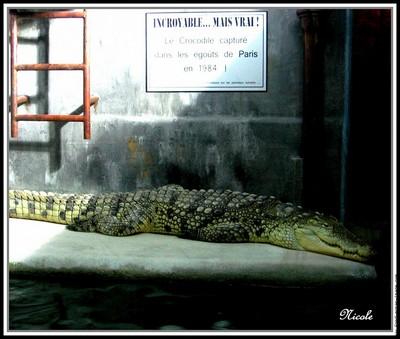 Un python dans la Seine Crocodile-egouts-de-paris