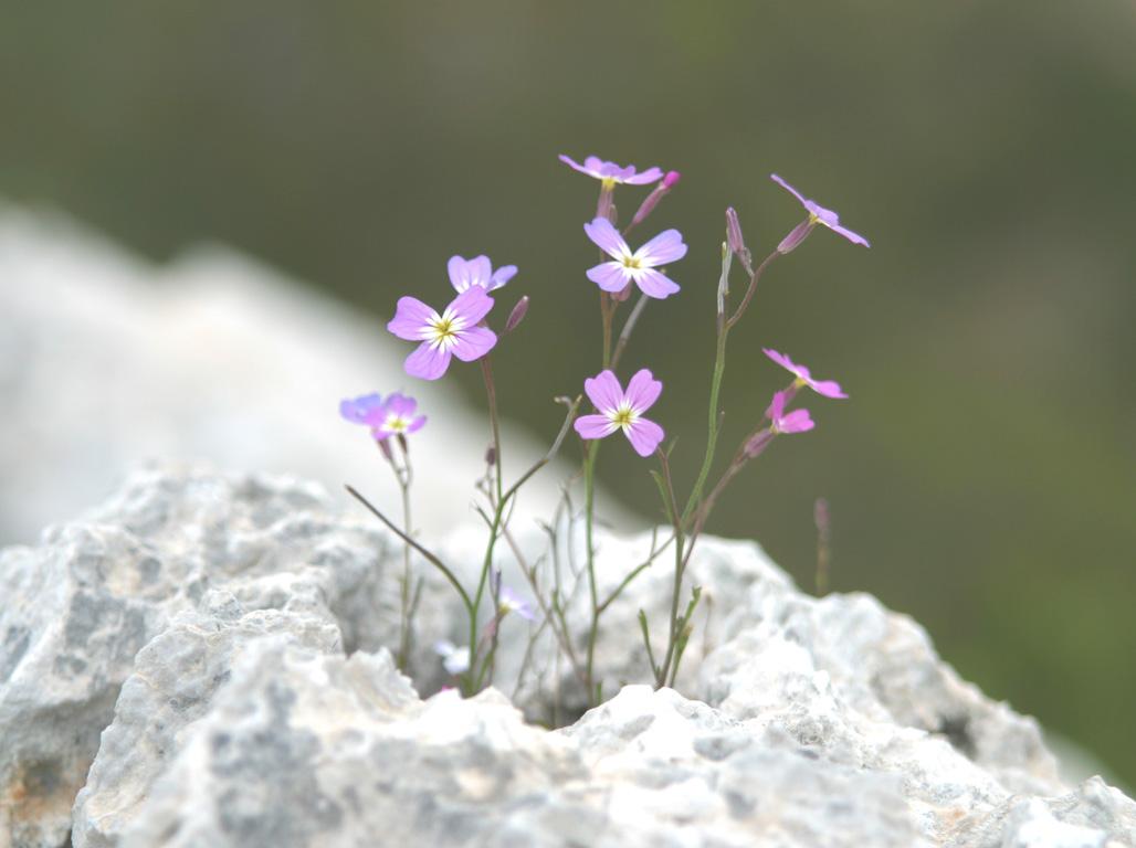 Εικόνες Φυτών... Agrioviolettes