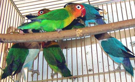 RAZNE SLIKE Papagaj%20fiser%20-03
