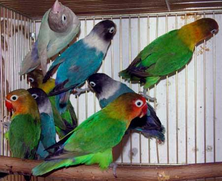 Fišer (Agapornis Fischeri) Papagaj%20fiser%20-05