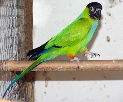RAZNE SLIKE Papagaj%20nandaja%20-01