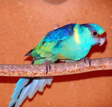 Barnard  (Barnardius barnardi barnardi) Papagaj%20barnard%20-01