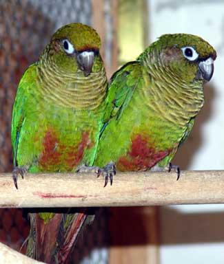 Papiga- papagaji Papagaji%20braunouhi%20-01