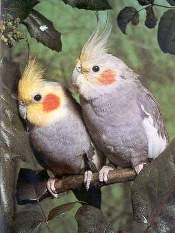 RAZNE SLIKE Papagaji%20ninfa%20-04