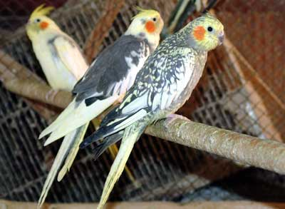 Nimfe (Nymphicus Hollandicus) Papagaji%20ninfa%20-09