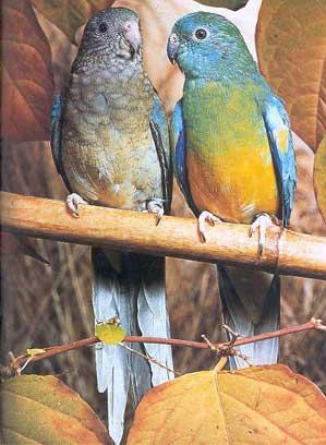 RAZNE SLIKE Papagaji%20pevajuci%2003