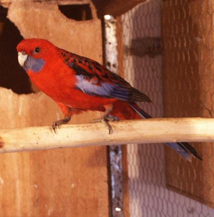 RAZNE SLIKE Papagaj%20penanta%20-02