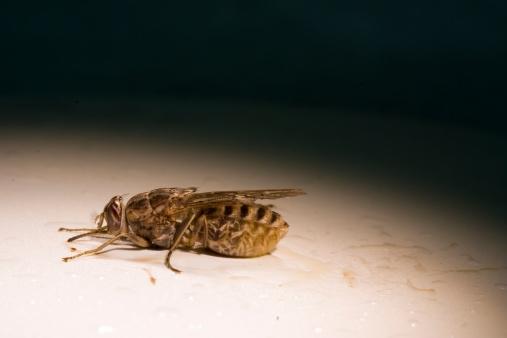 Le monde merveilleux des insectes - Page 4 Mouche-tse-tse