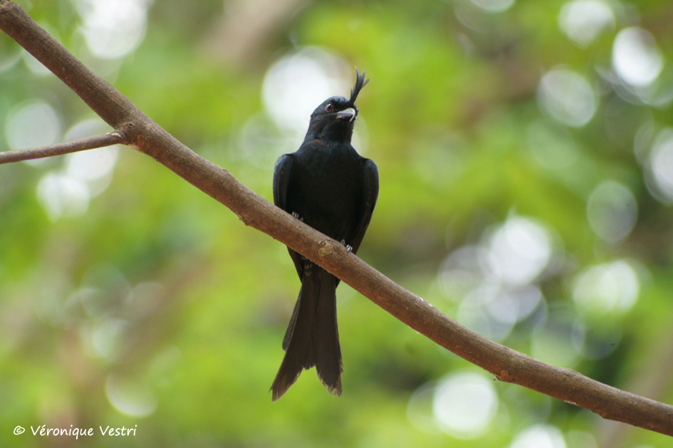 Oiseau Martine 13 janvier - bravo Martin Madagascar_2685_Ankaranfantsika_Parcnational_Drongo_malgache