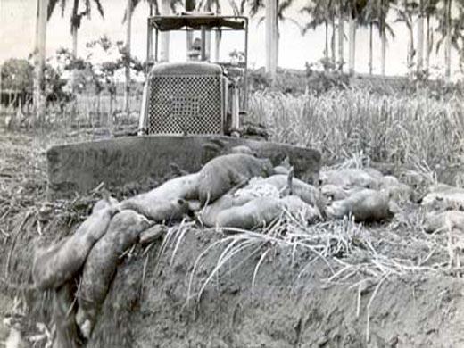 Cuba rememora criminal ataque bacteriológico de EE.UU. Fiebre-porcina